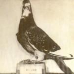 Joe, il piccione eroe